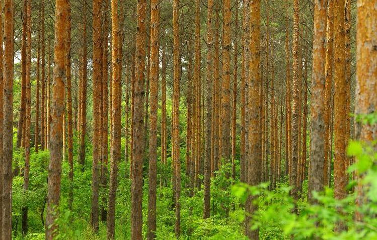 伊春:閱讀紅松林